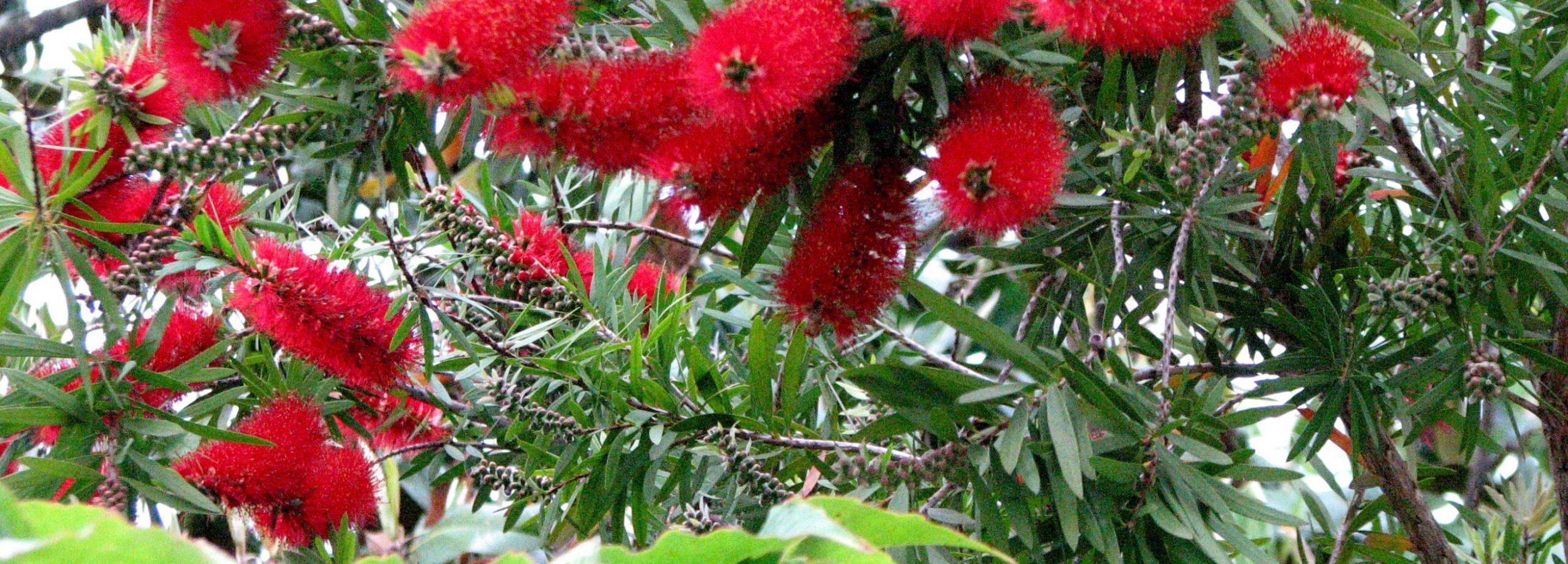 mimosa-vermella